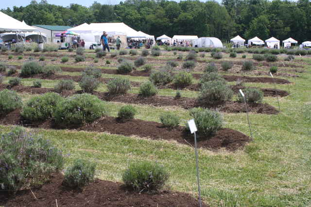 Peaceful Acres Lavender Festival