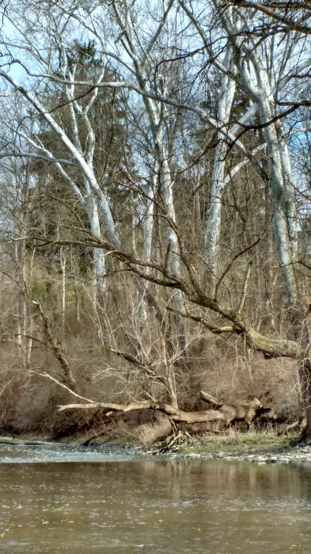 picture of sycamore trees